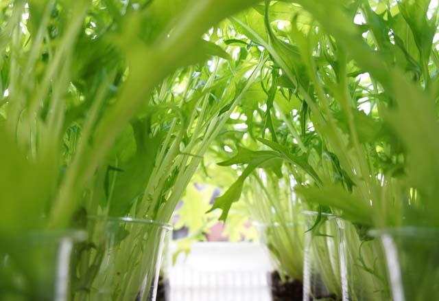 マンションのバルコニーで家庭菜園!野菜の水耕栽培はじめます!