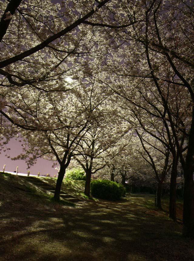 EOSで撮影した夜桜03