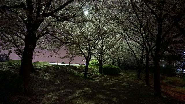 NEX5Rでこんなに桜がきれいに