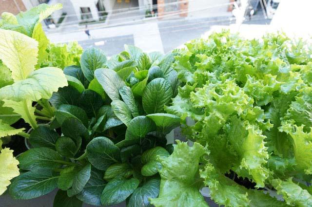 野菜成長しすぎ