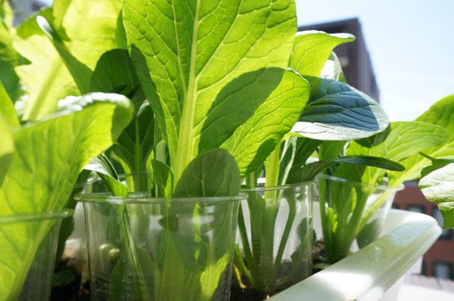 水耕栽培の野菜に虫発生!毎朝のお手入れの方法をご紹介