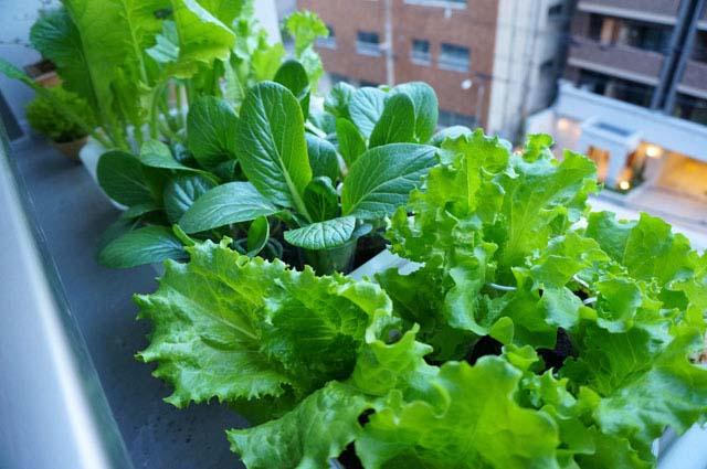 ベランダで育てた水耕栽培の野菜が初めて収穫できたよ!