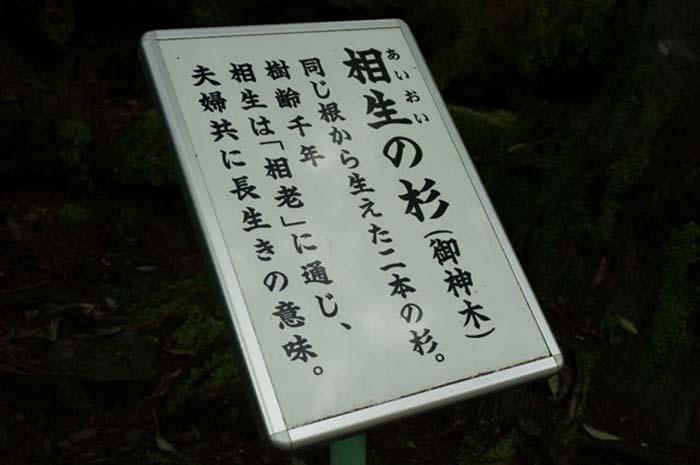 相生の杉01