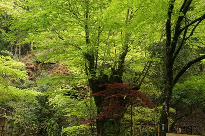 道中トトロの木