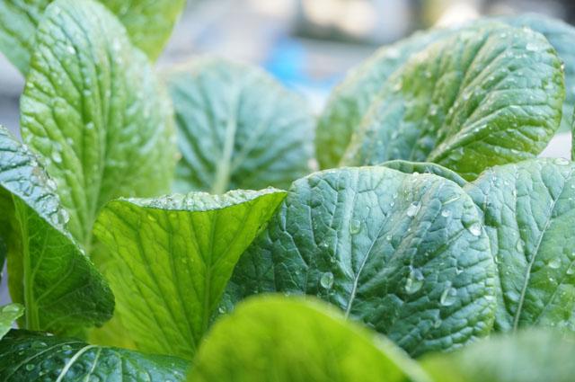 水耕栽培の野菜のお手入れをしてみた!綺麗に育てる管理のポイントを紹介