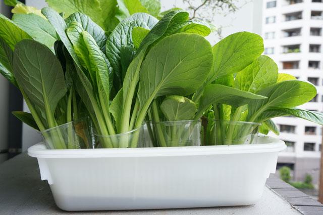成長の違い小松菜