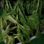 野菜の水耕栽培で大失敗!出張中にまさかの水切れさせちゃった編