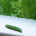水耕栽培に虫発生!青虫に野菜をかじられる編!