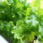 水耕栽培で野菜を大きく育てる日当たりのポイント発見編!