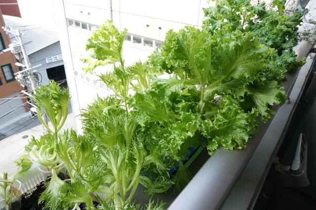 巨大化した野菜