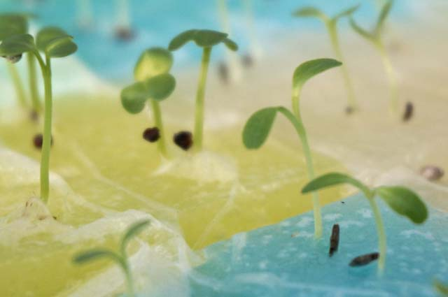 ベランダで秋野菜の水耕栽培!秋の種まき編!