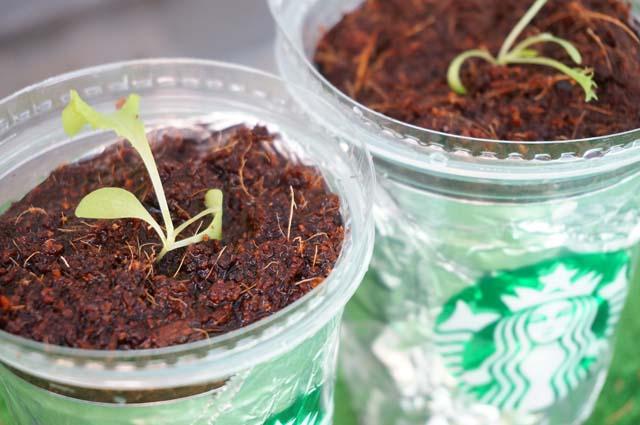 スタバのカップを再利用!ベランダでレタスの家庭菜園にチャレンジ!