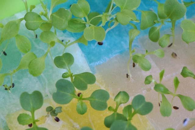 ベランダで秋野菜の水耕栽培!植え付け前の準備編!