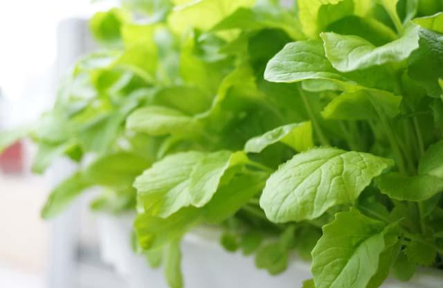 余った種でベビーリーフの水耕栽培!野菜収穫編!