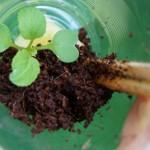 ベランダで秋野菜の水耕栽培!苗の植え付け編!