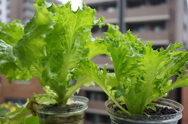植物を育てることが苦手なママでも大丈夫!知識ゼロから始めるベランダ菜園のススメの画像5