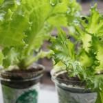 スタバのカップを再利用!ベランダでレタスの家庭菜園 成長編!