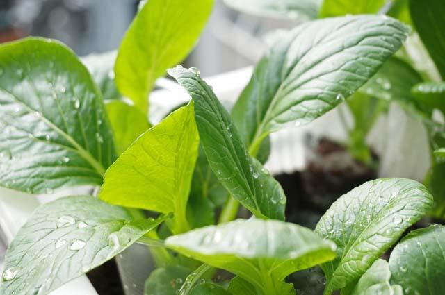 ベランダで秋野菜の水耕栽培!小松菜の成長&収穫編