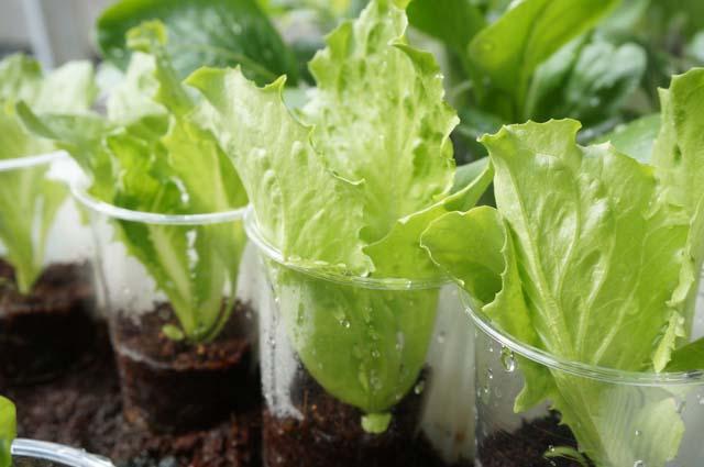ベランダで秋野菜の水耕栽培!レタスの成長と収穫編