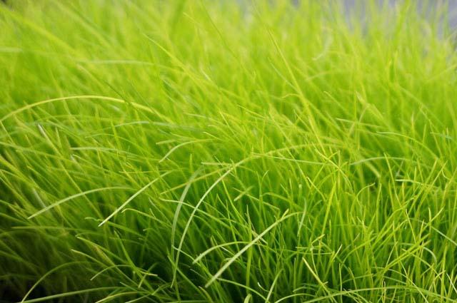 お手入れ簡単!ベランダで芝生を種から育ててみた!