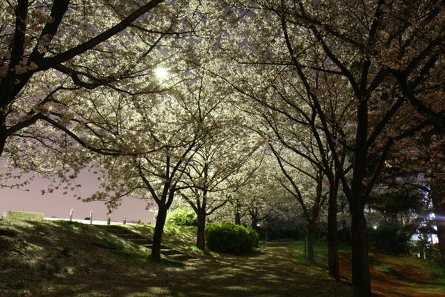 EOSで撮影した夜桜01