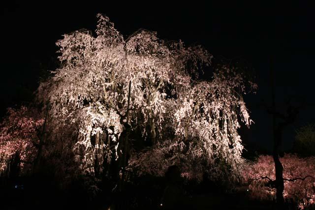 夜桜撮影に最適なお花見スポット!曇りでも桜を綺麗に撮るコツもご紹介!