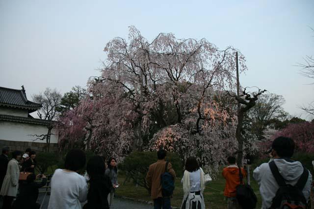 yozakura-nijyojyoIMG_6014