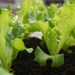 野菜の水耕栽培をもっと簡単に!植え付けまでの苗の生育比較