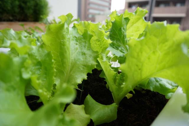 野菜の水耕栽培をもっと簡単に!新型水耕栽培の成長比較