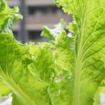 野菜の水耕栽培をもっと簡単に!新型水耕栽培の収穫結果!