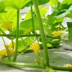 ベランダでメロンの水耕栽培にチャレンジしてみた!発芽から受粉編