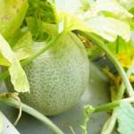 収穫の時期は?家庭菜園でメロンの水耕栽培できちゃいました!