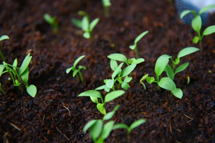 ハーブの水耕栽培!発芽と成長編