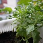 アイスプラントの水耕栽培にチャレンジ!真夏の栽培注意ポイント付