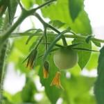 ベランダでトマトの水耕栽培にチャレンジ!苗から結実まで編