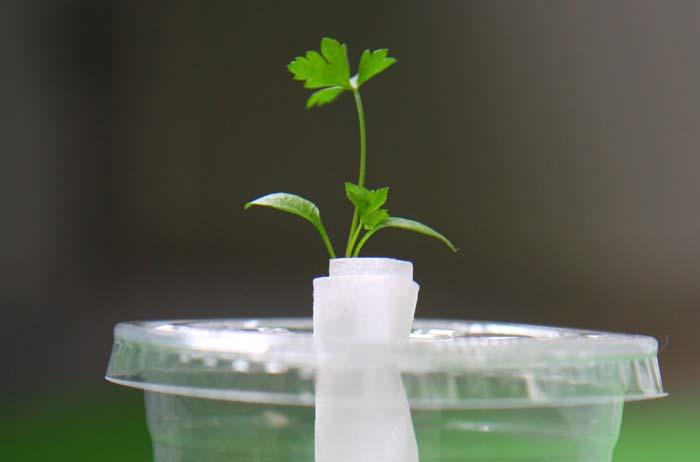 スタバのカップを再利用!イタリアンパセリを水耕栽培で育ててみるよ!
