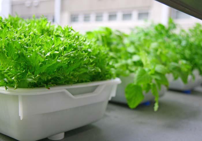 忙しくても楽しめる!野菜の水耕栽培の年間計画を立ててみた!