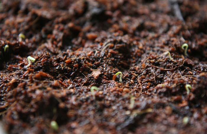 ベランダで野菜の水耕栽培!メロンやトマトがベビーリーフも発芽したよ