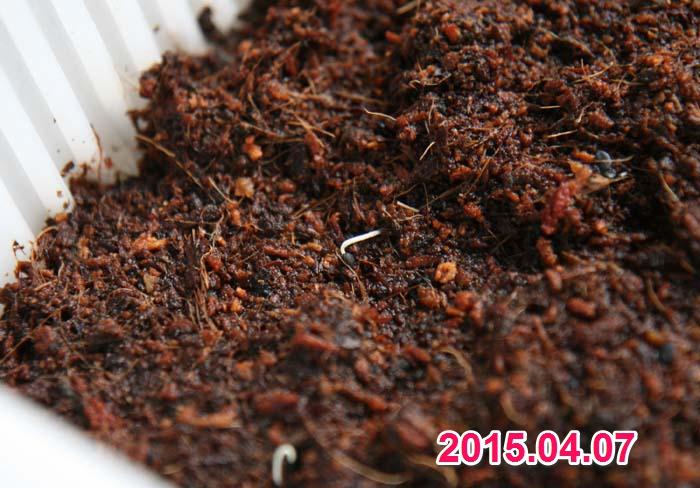 wc2015sp-hatsuga071