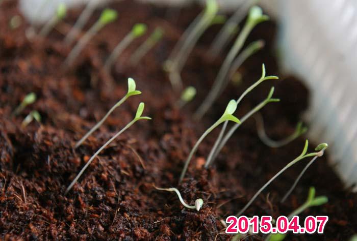 wc2015sp-hatsuga141