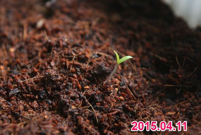 wc2015sp-hatsuga301