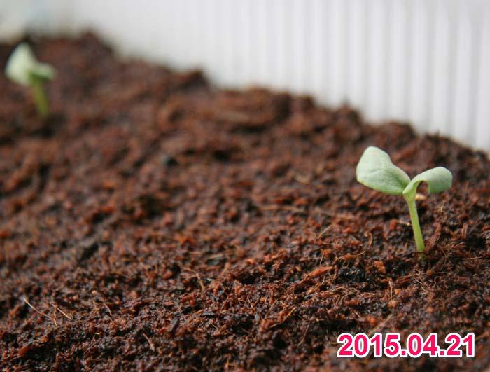 wc2015sp-hatsuga681