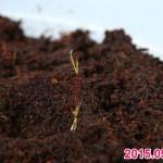 ベランダでお米の水耕栽培!黒米の種籾を蒔いたら発芽したよ!