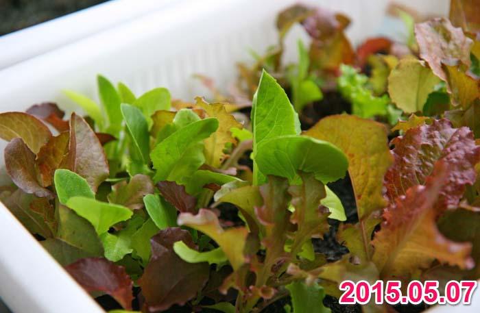 wc2015sp-baby-leaf-grow01
