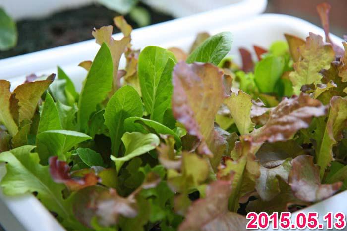 wc2015sp-baby-leaf-grow02