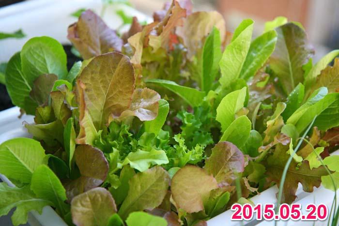 wc2015sp-baby-leaf-grow03