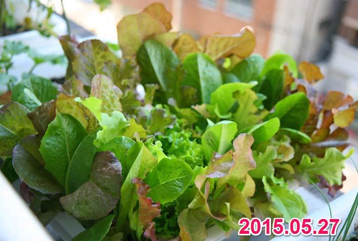 wc2015sp-baby-leaf-grow05