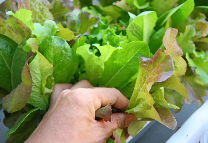 wc2015sp-baby-leaf-grow06
