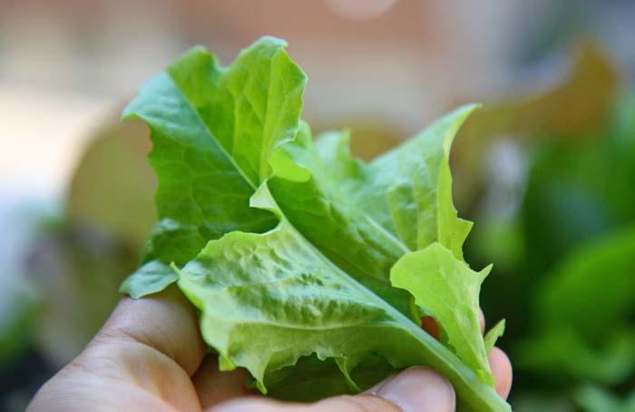 wc2015sp-baby-leaf-grow08