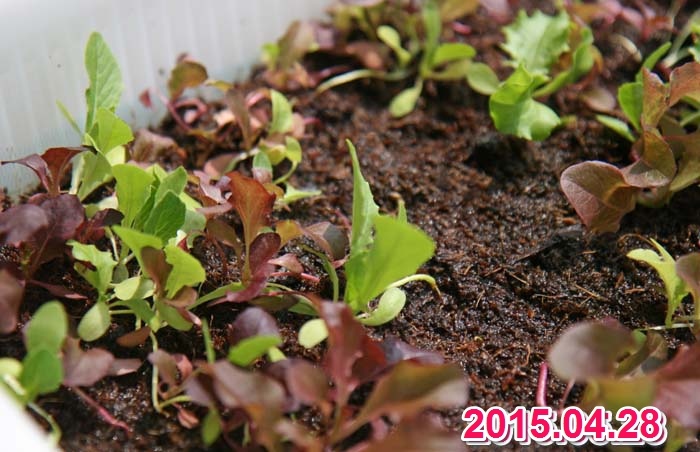 wc2015sp-baby-leaf-grow19
